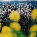 写真: 黄色の春・・