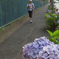 写真: 紫陽花 ご近所編 14