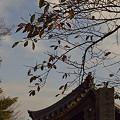 写真: 桜の紅葉