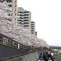 写真: 柏尾川の桜 04