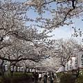 写真: 段葛の桜 01