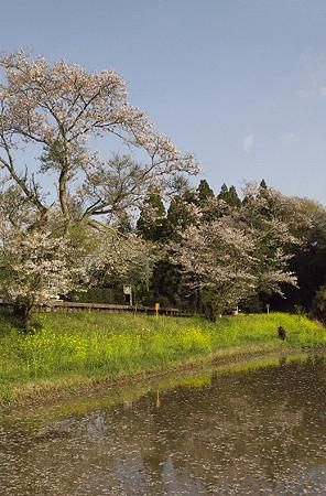小湊鉄道 15 桜さく飯給駅