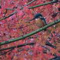 Photos: 紅葉とカワセミさん