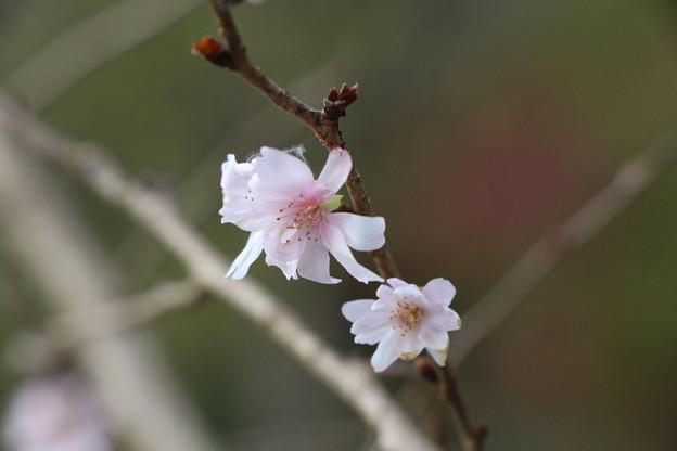 Photos: 10月桜