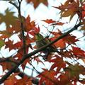 Photos: 紅葉とメジロちゃん