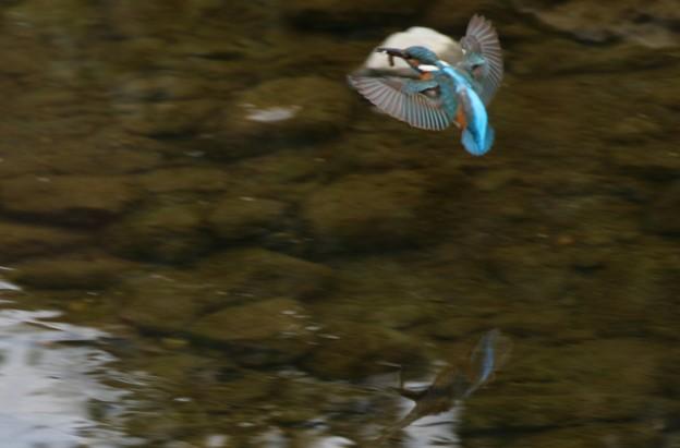 翡翠さんの綺麗な飛翔姿