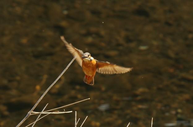 カワセミさんの綺麗な飛翔姿