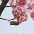 桜メジロちゃん