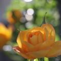 薔薇が咲いた!