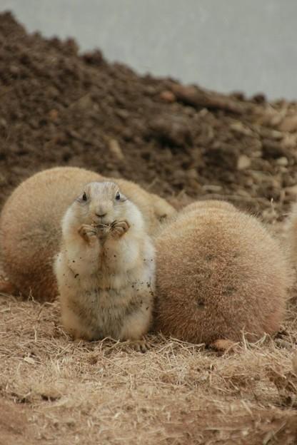Photos: かみね動物園 プレーリードック