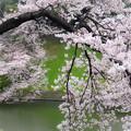 Photos: chroma sakura