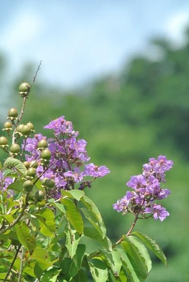 オオバナサルスベリの花