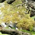 写真: 27.10.10四季桜