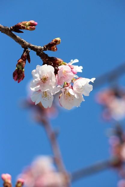 28.3.31大寒桜