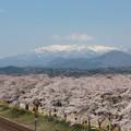 Photos: 28.4.6白石川堤一目千本桜