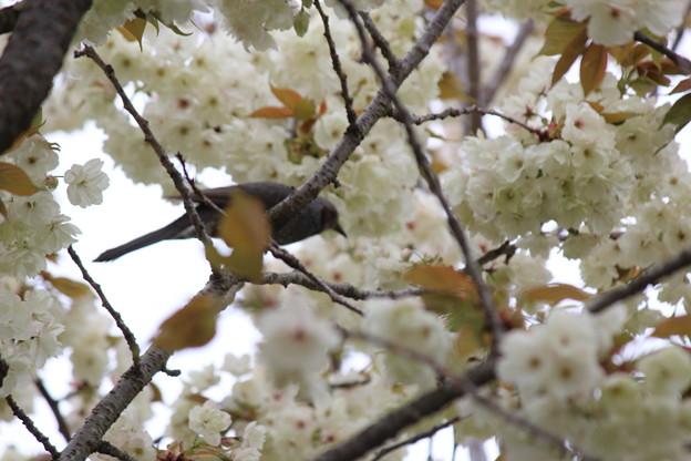 28.4.23鬱金桜