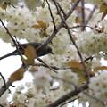 Photos: 28.4.23鬱金桜