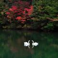 写真: 二羽の白鳥