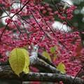 Photos: ピンクの実