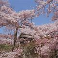 桜咲く高遠城址公園