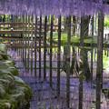 写真: 天王川公園の藤