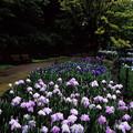 Photos: 山田池公園 花菖蒲園