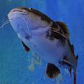 Photos: 05赤尾鯰