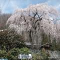 しだれ桜(八王子市・浄福寺)