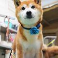 写真: チビちゃん(柴犬・上市町)