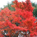 ハチ高原の紅葉1